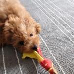 引っ張りっこ遊び犬