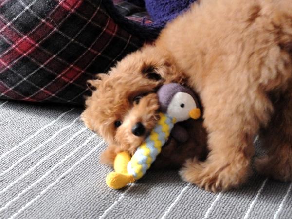 3ヵ月トイプードル子犬初めてのトリミング
