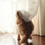 犬がカーテンを噛む