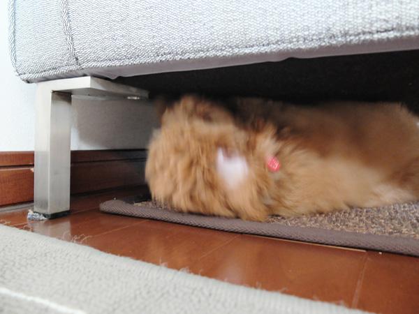 トイプードル犬がソファを掘る