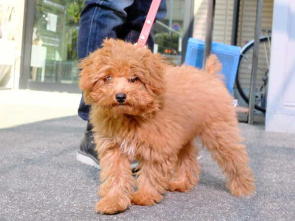 トイプードル子犬のプチトリミング