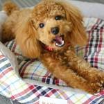 ラディカ犬ベッド