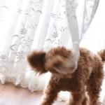 犬 カーテンを噛む