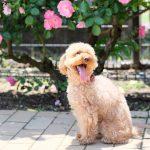 ここ日和 トイプードル犬ブログ
