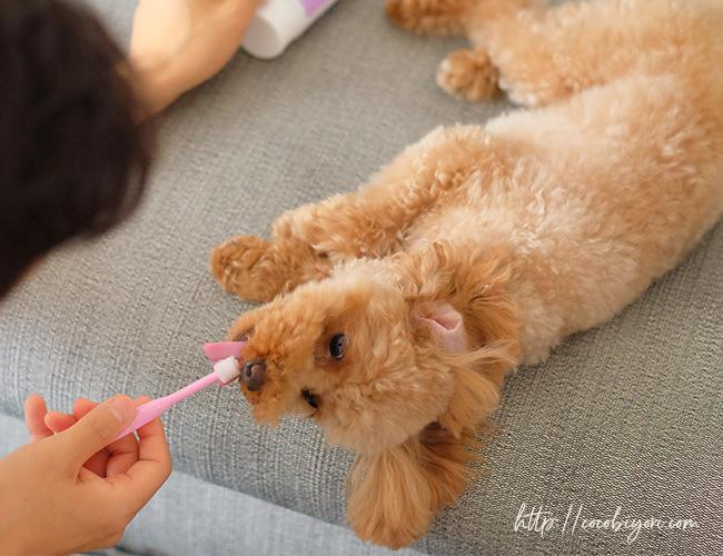 ここ日和 トイプードル犬歯磨き